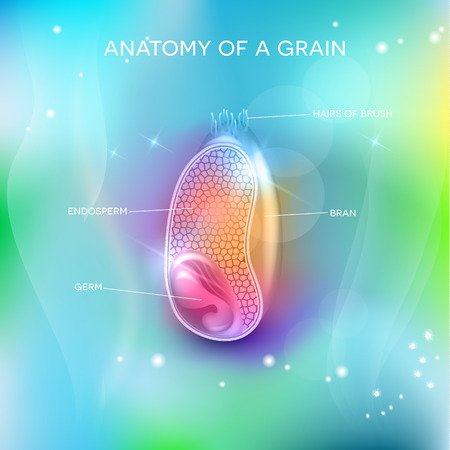 grains: Grain structure on a beautiful blue mesh background. Cross section of a grain. Endosperm, germ, bran layer and hairs of brush.