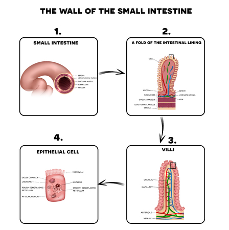 Small intestine wall anatomy, a fold of the intestinal lining, villi and epithelial cell with microvilli detailed illustrations.