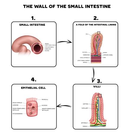 小腸の壁の解剖学、腸の粘膜、絨毛、微絨毛上皮細胞の倍詳細イラストです。
