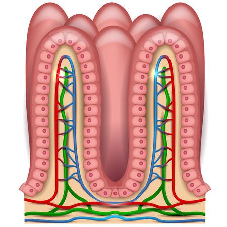 intestino: anatomía intestinal vellosidades, revestimiento del intestino delgado, vellosidades y células epiteliales con microvellosidades ilustración detallada.