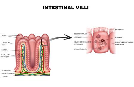 腸絨毛と絨毛の詳細な白い背景の解剖学