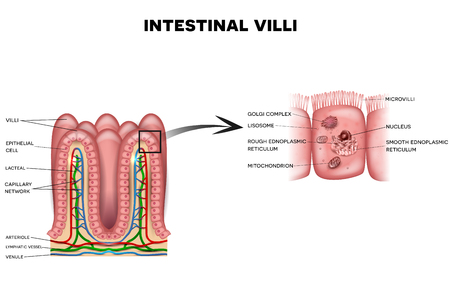 from small bowel: Intestinal villi and microvilli detailed anatomy on a white background Illustration