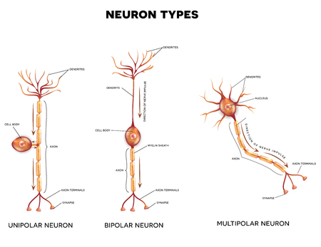 dendrites: Neuron types, nerve cells that is the main part of the nervous system.