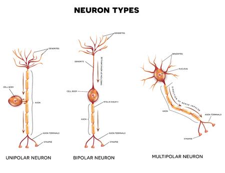 cellule nervose: Tipi di neurone, le cellule nervose che � la parte principale del sistema nervoso.