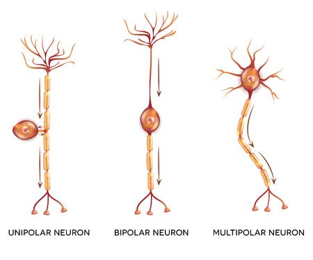typy neuronów, komórek nerwowych, która jest główną częścią systemu nerwowego.
