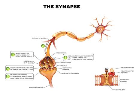 neuron: Sinapsis se detalla la anatom�a, hermosa ilustraci�n colorido. Neurona pasa la se�al a otra neurona. En el lado derecho mirada m�s atenta en canal i�nico por ligando.