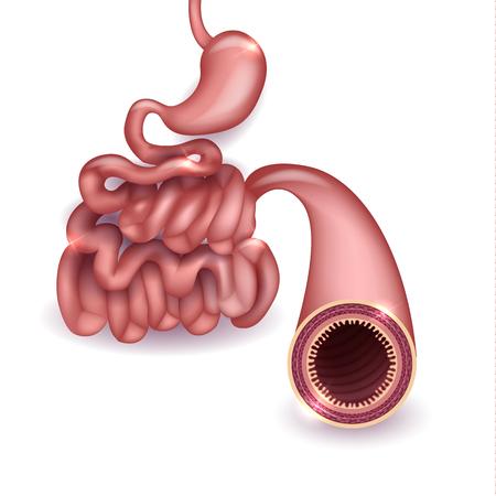 Healthy small intestine and stomach, bright anatomy illustration, white background 일러스트