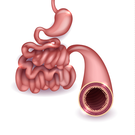 Healthy small intestine and stomach, bright anatomy illustration, white background