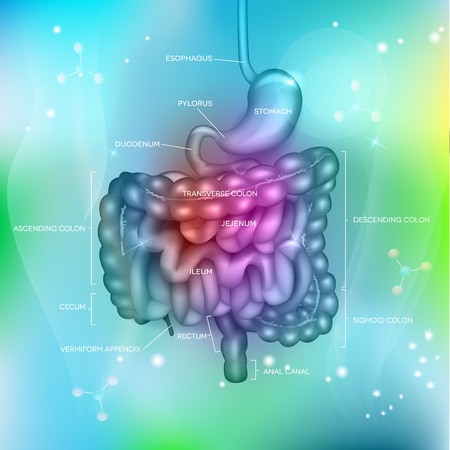bowels: Gastrointestinal tract. Stomach, small intestine and colon, abstract light blue mesh background with lights. Beautiful bright illustration. Illustration