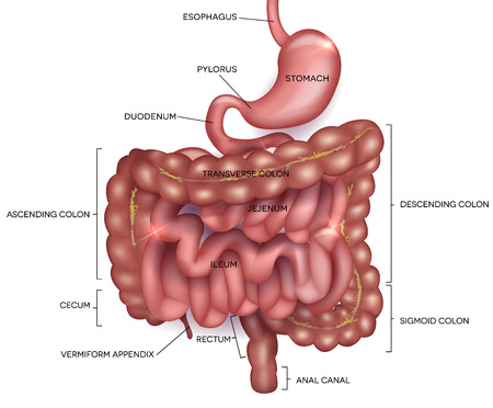 gut: Gastrointestinal tract. Stomach, small intestine and colon. Beautiful bright illustration.