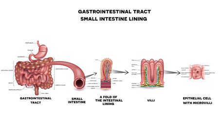 celiac: Gastrointestinal system small intestine detailed wall anatomy. Small intestine villi and epithelial cell with microvilli detailed illustration.