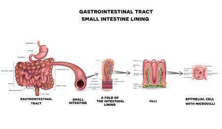 intestino: Sistema gastrointestinal intestino delgado pared detallada anatomía. Vellosidades del intestino delgado y de células epiteliales con microvellosidades ilustración detallada.