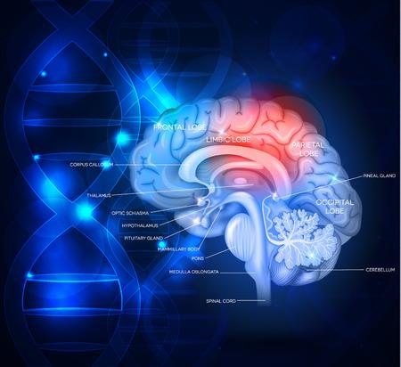 El cerebro humano diseño científico abstracto con la cadena de ADN, hermoso color azul profundo brillante