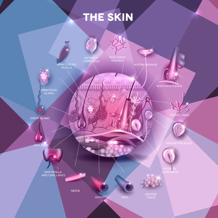 skin structure: Skin anatomy structure in the round shape, beautiful colorful design, detailed anatomy illustration Illustration