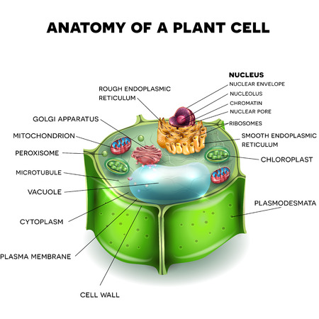 Plant Cell structure, cross section of the cell detailed colorful anatomy