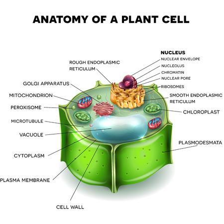 Structure de la cellule végétale, section transversale de la cellule détaillée l'anatomie colorée Banque d'images - 64658009