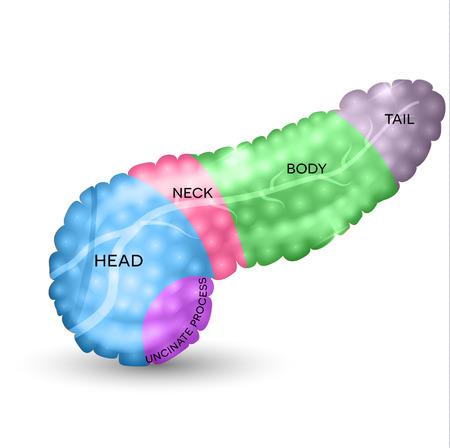 pancreas: Pancreas parts detailed colorful illustration Illustration