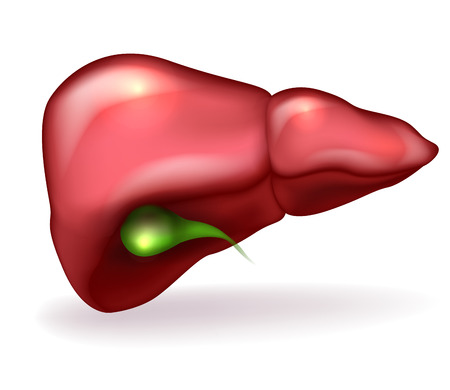 Liver and gallbladder detailed anatomy illustration on white background