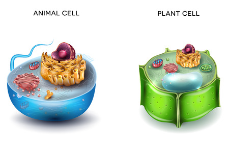 Animal Cell and Plant Cell structure, cross section detailed colorful anatomy.