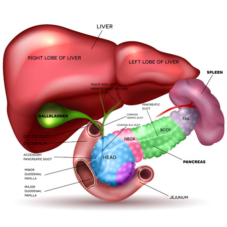 Liver, pancreas parts, gallbladder and spleen detailed drawing on a white background with description