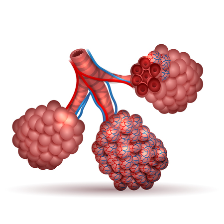 Alveoli anatomy- tiny air spaces in the lungs through which exchanges oxygen and carbon dioxide. Stock Illustratie