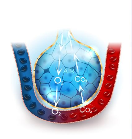 échange anatomie, l'oxygène et le dioxyde de carbone entre les alvéoles des alvéoles et des capillaires, le mécanisme de respiration externe.