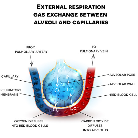 Anatomia dos alvéolos, troca externa de gases da respiração entre alvéolos e capilares, com descrição detalhada