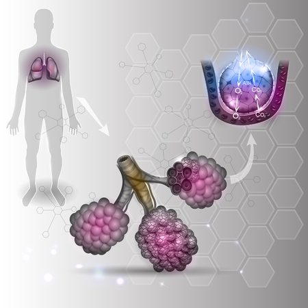 alveolos: Los alvéolos anatomía, oxígeno y dióxido de carbono intercambio entre los alvéolos y los capilares, el mecanismo de respiración externa. Resumen de antecedentes científicos