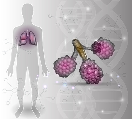 respiration: Alveoli anatomy, oxygen and carbon dioxide exchange between alveoli and capillaries, external respiration mechanism.