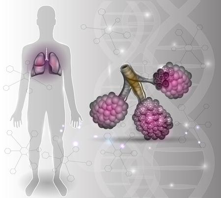alveolos pulmonares: Los alvéolos anatomía, oxígeno y dióxido de carbono intercambio entre los alvéolos y los capilares, el mecanismo de respiración externa. Vectores