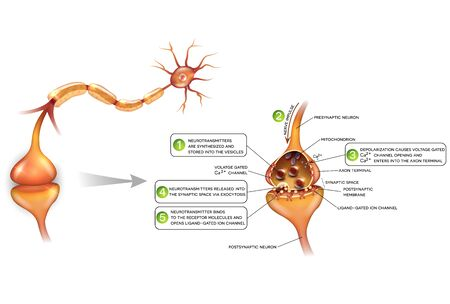 synapse: Neurons and closeup of synapse detailed anatomy, beautiful colorful illustration. Neuron passes signal to another neuron.
