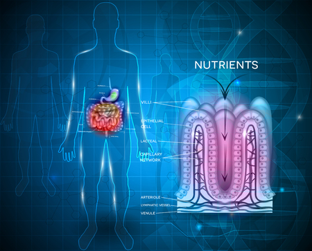 Intestinal lining anatomy and absorption of nutrients Stock Illustratie