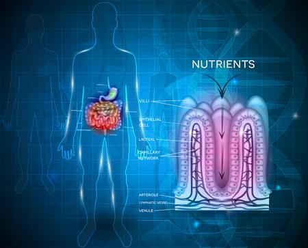 Jelitowe anatomii i wchłanianie składników odżywczych wyściółka