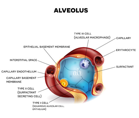 Alveolus closeup anatomy, three types of alveolar cells, capillaries and erythrocytes, air inside alveolus, beautiful colorful illustration