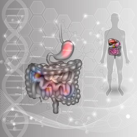 El sistema digestivo antecedentes científicos abstracto. Estómago, intestino delgado y grueso, silueta humana sobre una base científica ADN abstracta