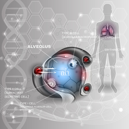 respiration: Lungs and alveolus abstract scientific background, human silhouette, closeup detailed anatomy, oxygen and carbon dioxide exchange between alveoli and capillaries, external respiration mechanism.