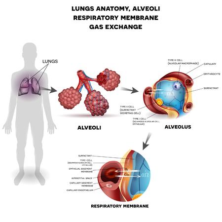 Ademhalingssysteem, longen en alveoli. Respiratoire membraan alveole, gedetailleerde anatomie, zuurstof en kooldioxide uitwisseling tussen alveoli en capillairen, externe ademhaling mechanisme. Stock Illustratie