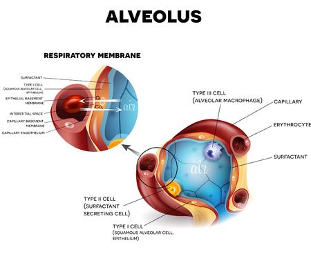alveolos: anatomía alvéolo y la membrana respiratoria de los alvéolos, el oxígeno y el dióxido de carbono de cambio entre los alvéolos y los capilares, el mecanismo de respiración externa.