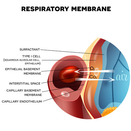 Respiratory membrane of alveolus closeup, detailed anatomy, oxygen and carbon dioxide exchange between alveoli and capillaries, external respiration mechanism. Stock Illustratie