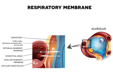 dioxido de carbono: membrana respiratoria del alvéolo, anatomía detallada, oxígeno y carbono dióxido de intercambio entre los alvéolos y los capilares, el mecanismo de respiración externa.