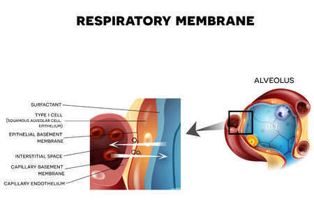 respiration: Respiratory membrane of alveolus, detailed anatomy, oxygen and carbon dioxide exchange between alveoli and capillaries, external respiration mechanism.