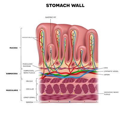 Stomach wall layers detailed anatomy, beautiful colorful drawing on a white background