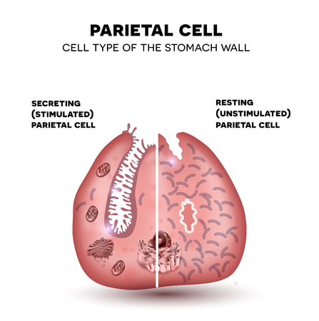 Parietal cell of the stomach wall, located in the gastric glands secretes hydrochloric acid. Secreting and resting parietal cell.
