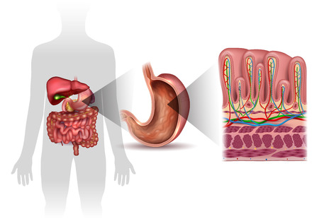 intestinal mucosa: Stomach wall layers detailed anatomy, and human silhouette with internal organs, beautiful colorful drawing on a white background