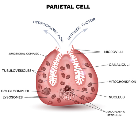 Parietal cell secreting hydrochloric acid and intrinsic factor, located in the stomach gastric glands.