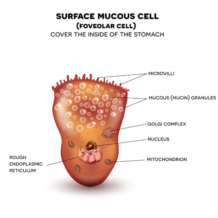 mucus: Foveolar cell or surface mucous cell of the stomach wall,  secretes mucus which cover the stomach wall, protecting it from the gastric acid. Beautiful colorful drawing on a white background with description