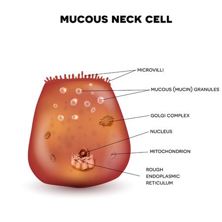 golgi apparatus: Mucous neck cell of the stomach wall. Beautiful colorful drawing on a white background Illustration