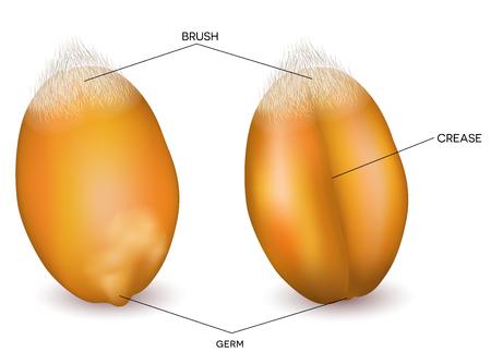 Primer plano de grano de trigo. Ilustración detallada desde el frente y hacia atrás.