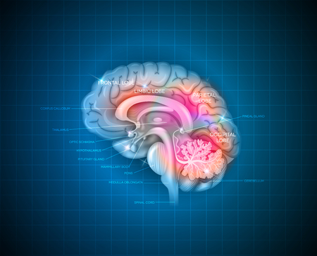 Human brain detailed 3d illustration on a blue radial background