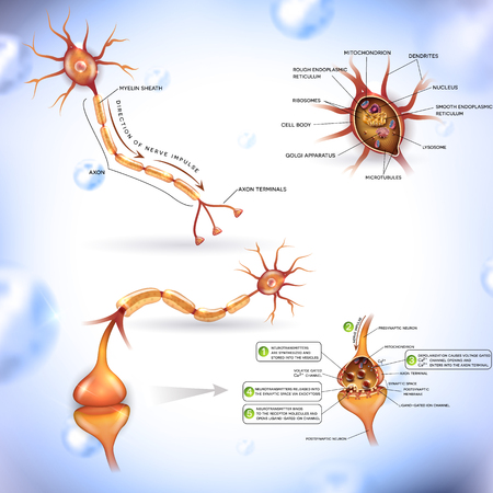 Neuron, nerve cell, close up illustrations bundle. Synapse detailed anatomy, neuron passes signal to another neuron. Cross section, nucleus and other organelles of the cell. 向量圖像